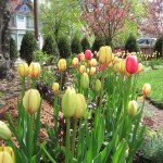 Tulips blooming in the spring at the Yawkeye Museum
