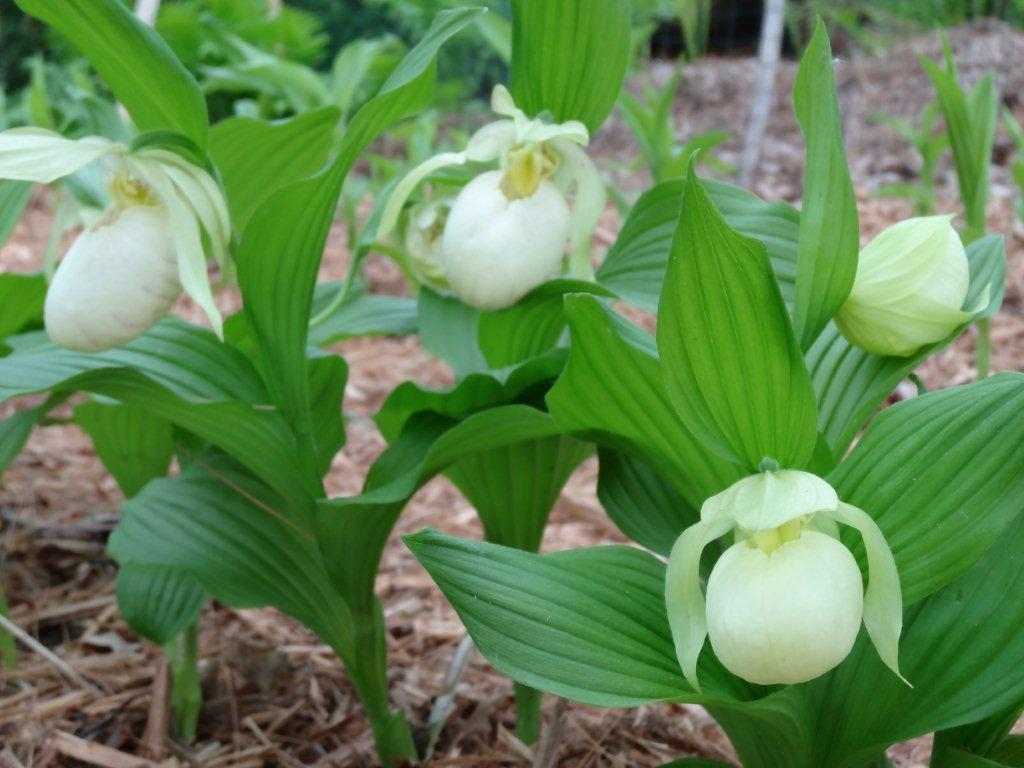 Cypripedium Orchid