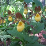 Cypripedium Orchid